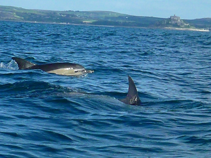 common-dolphins-off-st-michaels-mount