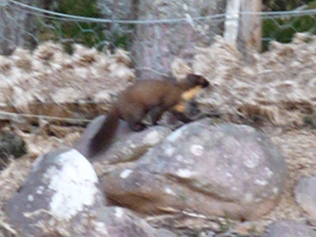 fast moving Pine marten