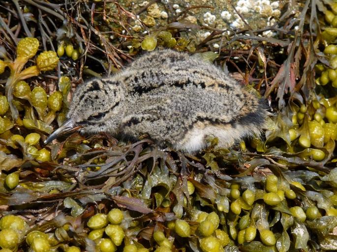 Baby oystercatcher