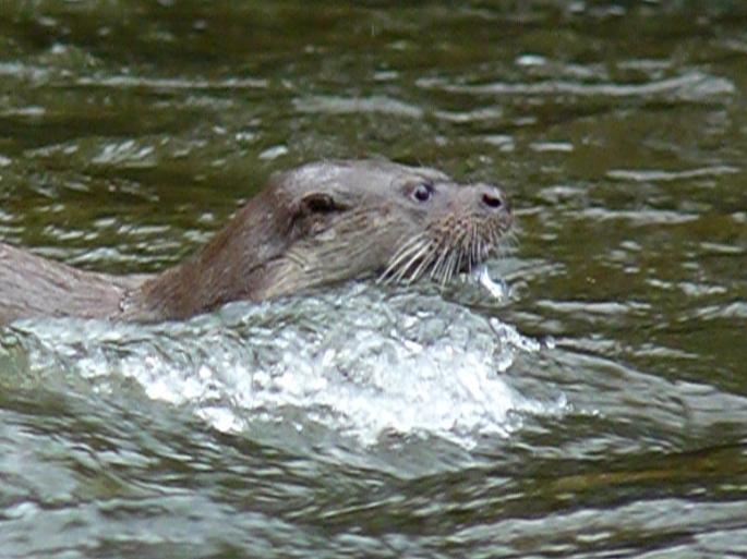 torridge-otter