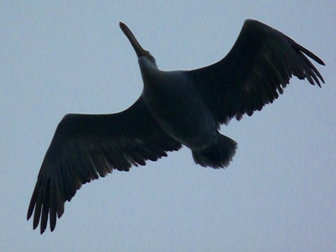 dalmatian-pelican-1