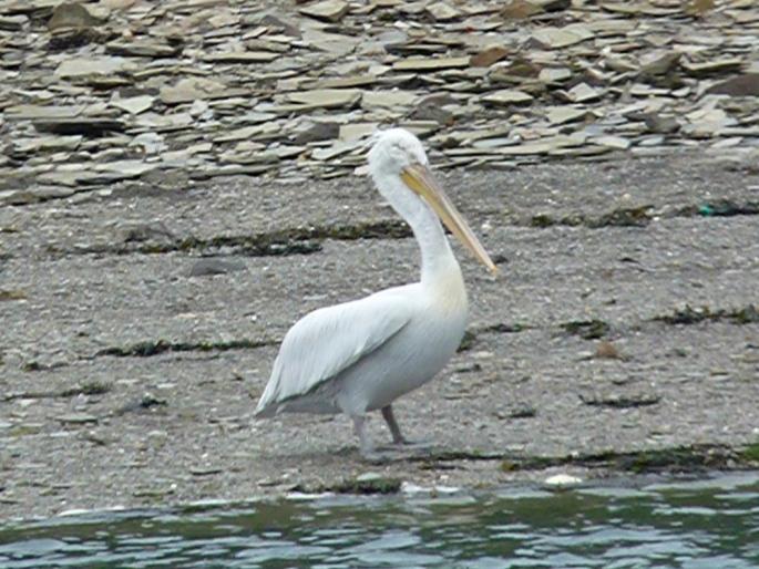 dalmatian-pelican-2