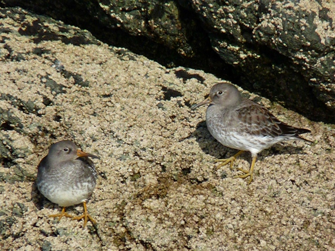 purple-sandpipers