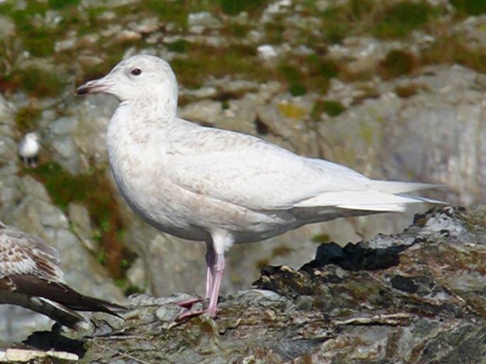 iceland-gull