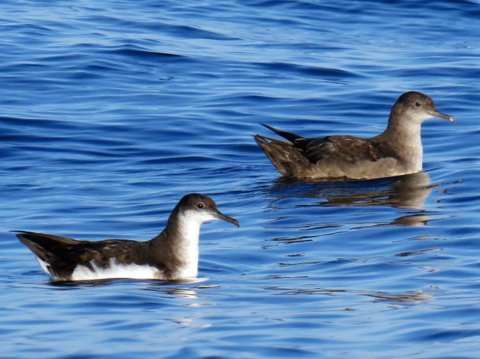 Manx and Balearic Shearwater