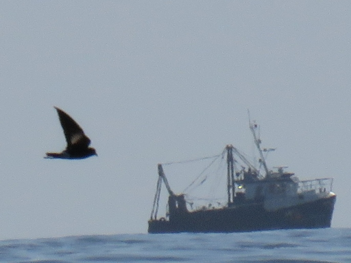Wilsons petrel cropped photo