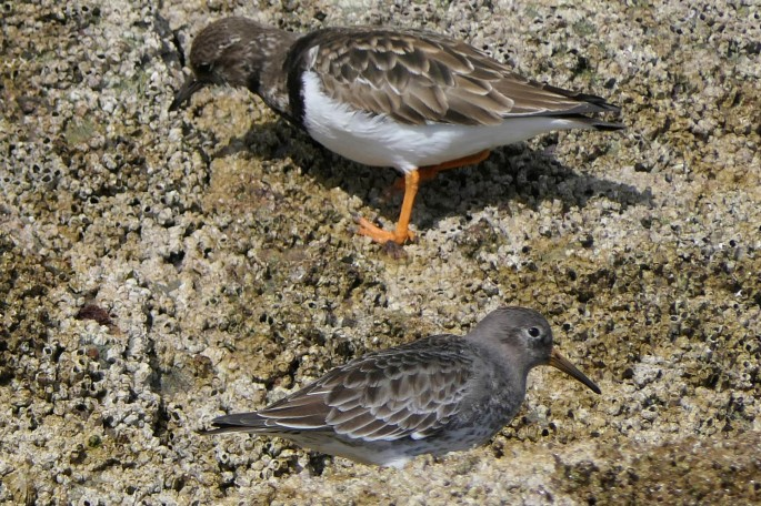 Purple Sandpiper and Turnstone