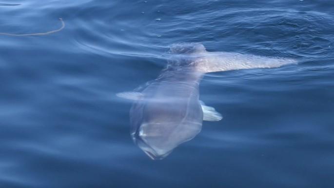 sunfish 6
