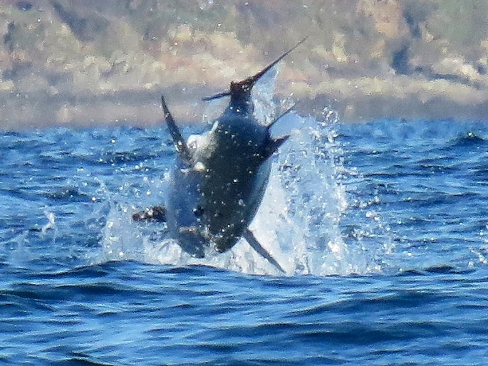 Jumping Giant Bluefin Tuna