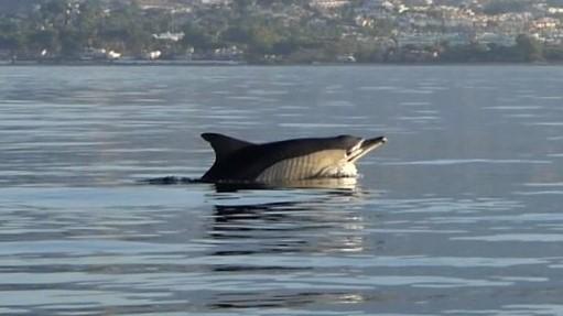 bellyflop dolphin