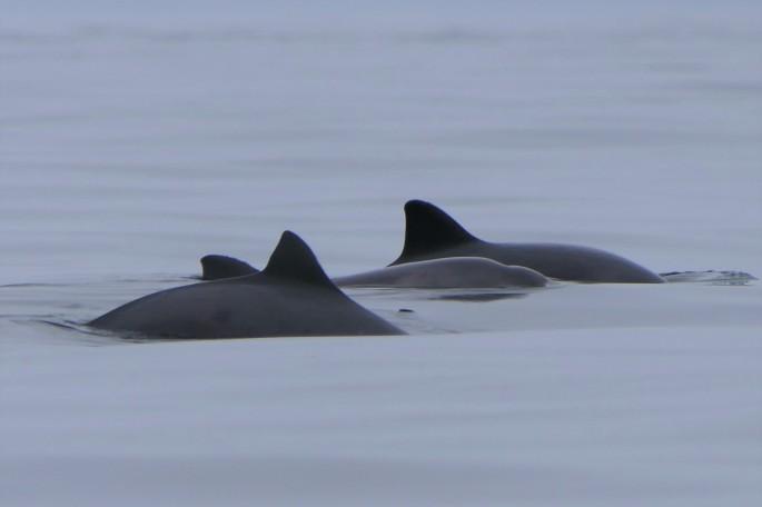 trio of porpoises