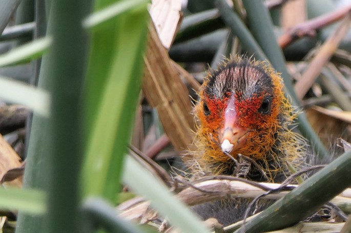 coot chick 2