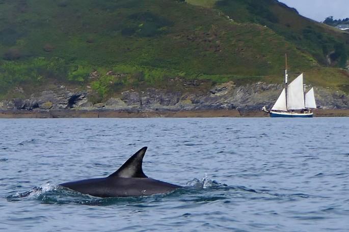 dolphin 2 gorran
