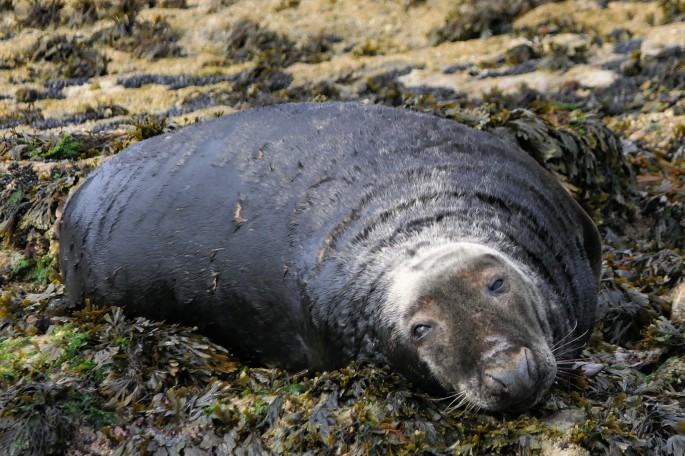 Thatcher rock grey seal