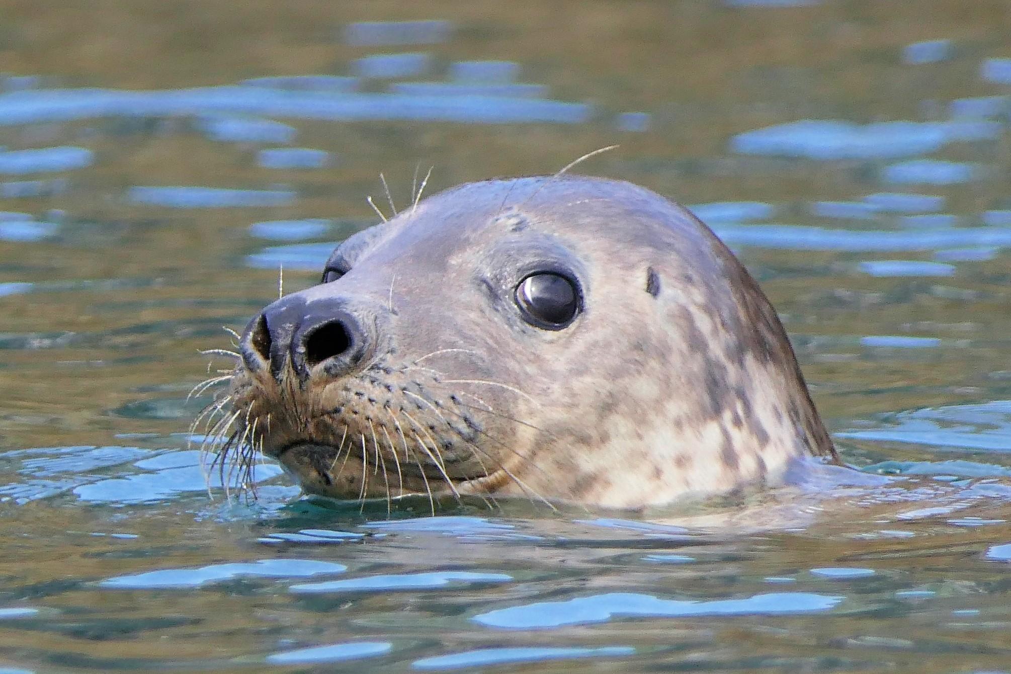 Torbay harbour seal