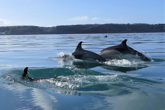 Common Dolphins Torbay