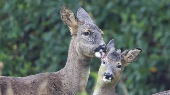 roe deer grooming calf_1