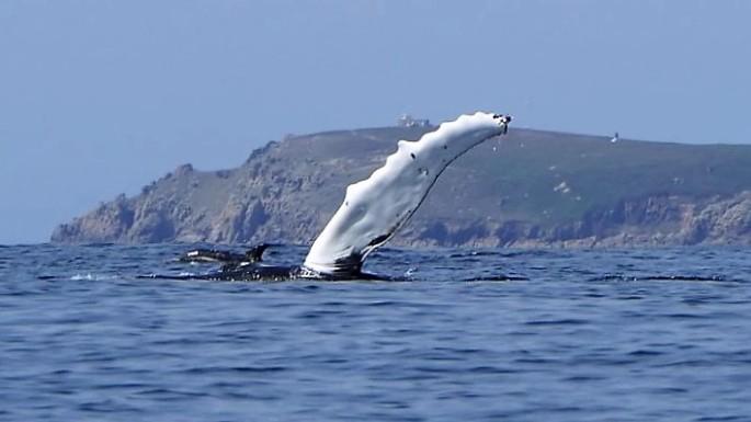 Humpback flipper