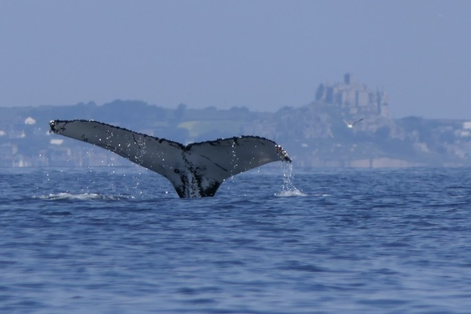 Humpback in front of St Michaels Mount