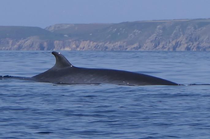 Minke Whale 1