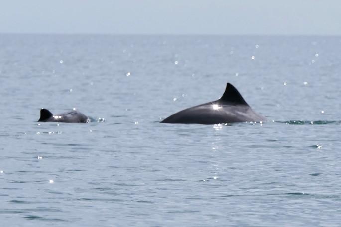 porpoises 1