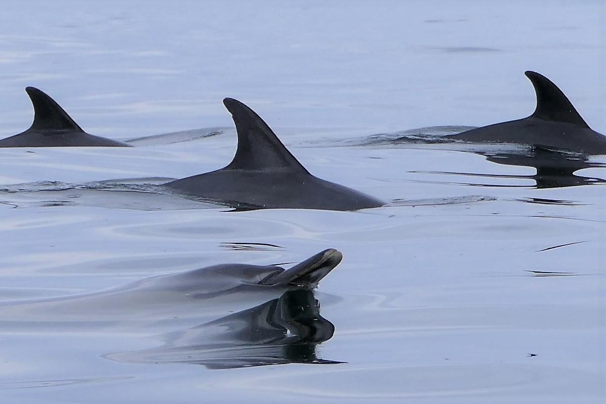 dolphin quartet